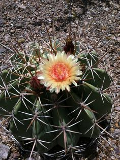 Potts Barrell Cactus/Bisnaga (Ferocactus pottsii)
