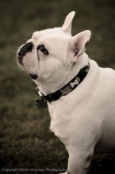 ~what a beautiful frenchie~