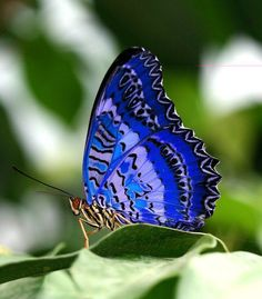 christians, animals, butterflies, natural colors, cobalt blue