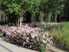 flower carpet, carpet appleblossom