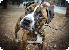 New York, NY - Pit Bull Terrier/Mastiff Mix. Meet angel Brad, a dog for adoption at the Humane Society of New York.