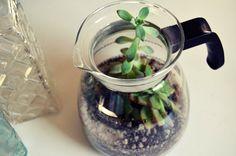 DIY coffee pot succulent terrarium