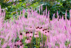 Veronicastrum virginicum 'Fascination', Echincacea pallida for a pink toned color garden with contrasting spikey and round flowers and textures