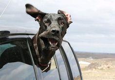 Dog- car window 2