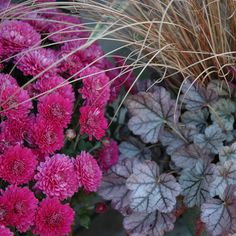 Mums, Coral Bells and Ornamental Grass These plants play well together in a fall container garden
