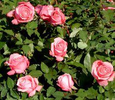 Belinda's Dream. Medium shrub. Moderate fragrance, good for cut flowers.