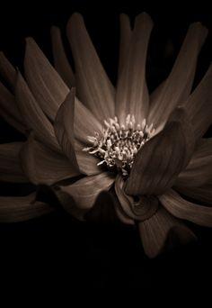 Dahlia in Sepia by alan shapiro photography