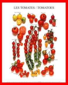10 Common Tomato Plant Problems