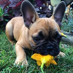 Batpig & Me Tumble It • I love eatin flowies ❤️ but my mom takes them away...