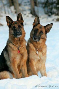 Two German Shepherds in the snow :)