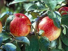 Zestar Apple Tree - out of the U of M  GREAT northern MN apple Zestar Apple Tree