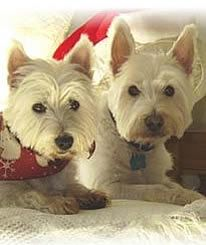 Westie Rescue of california with a couple of nice westies