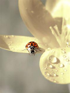 *little ladybug
