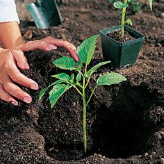 Planting seedlings: how to set out new vegetable plants
