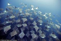 Underwater photographer snaps  hundreds of mobula rays - Daily Mail