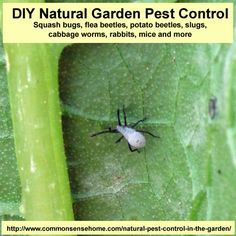 DIY natural garden pest control. Fight squash bugs, flea beetles, potato beetles, slugs, cabbage worms, mice and rabbits.  Promote beneficial insects and animals. #organicpestcontrol #gardening