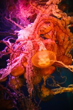 Sea Nettles at the Aquarium of the Pacific