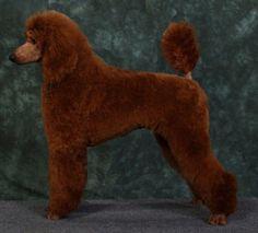 Image Result For Red Standard Poodles For Sale Near Me