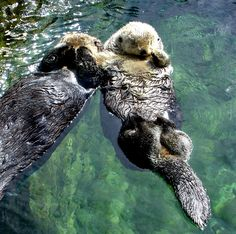 Cuteness of the Day: Sea otters hold hands while sleeping in the water so that they don't drift apart. ♥