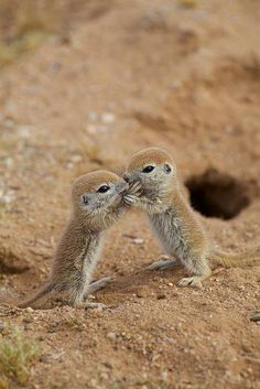 Baby Round-tailed Ground Squirrels  Sharing secrets and hugs