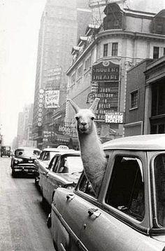 Llama. In a car.