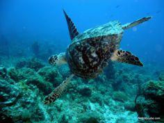 Hawksbill Sea Turtle!
