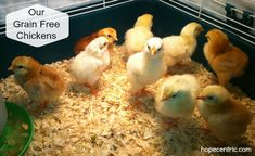 Our first round of grain free chickens are almost 2 years old now. We have grain free laying hens, and have quite successfully raised grain free meat birds. It's certainly possible.