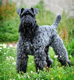 Kerry Blue Terrier - grew up with a Kerry:)