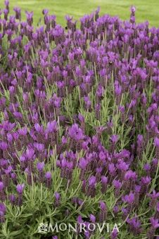 """Hazel Spanish Lavender from Monrovia. """"Fragrant, large, vibrant bluish-purple flowers complement the gray-green finely textured foliage."""" Less vulnerable to falling open with age than other lavenders. Ideal for borders, cottage gardens and containers. Evergreen. Full sun. Blooms spring and fall."""