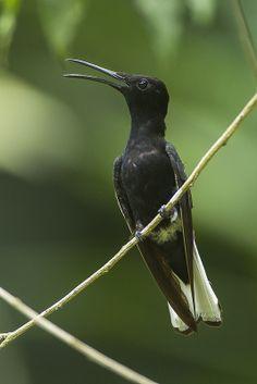 ˚Black Jacobin Hummingbird - REGUA - Brazil jacobin hummingbird