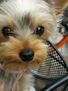 Sweet little Yorkie at puppies pictures blog.
