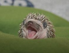 i dare you not to melt when you see this yawning baby hedgehog