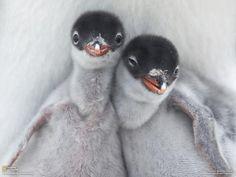 Gentoo Penguin Chicks by Richard Sidey