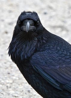 Raven carries the powerful medicine of magic; Raven can guide the magic of healing to bring a new state of wellness...