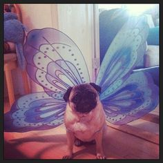 Every puggerpillar eventually turns into a beautiful puggerfly!