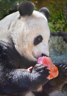 Panda mom Bai Yun enjoys a heart-shaped Valentine treat.