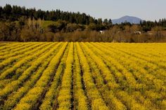 J's Nonny's Vineyard with spring mustard.  Nonny's Vineyard is named after Judy Jordan's grandmother and is planted entirely to Pinot Noir. Nonny's Vineyards is located along River and Trenton Roads on the southern edge of the property, and Mark West Creek, a Russian River tributary to the north. The 70-acre vineyard is planted to seven different Pinot Noir clones and comprised of Yolo silt and other loam soils.