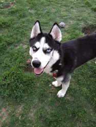 Gunray - Still just a puppy! is an adoptable Siberian Husky Dog in Carrollton, TX. Less than a year old, Gunray is a sweet boy and seems eager to please his human. �More information coming soon so ple...