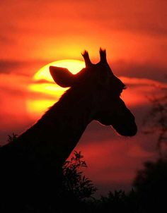 giraffe images silhouette in the sunset | Photo Details: Giraffe (Giraffa camelopardalis) in silhouette against ...