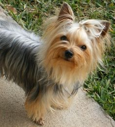I  would stay with my Aunt during the summers when I was young&she loved Yorkies. They were so cute!