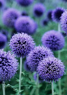 Echinops ritro. 2-3 feet. Sun to partial shade. Late summer/early fall. Attracts bees, birds, butterflies. Foliage herbaceous.