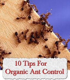10 Tips For Organic Ant Control