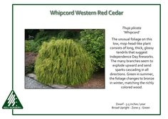 Thuja-plicata-Whipcord 4' x4' -10 degrees, put somewhere protected by the wind, not the front yard