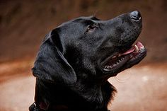 Labrador's As Service Dogs