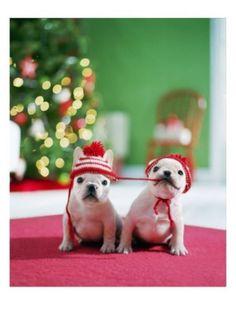Christmas French bulldogs