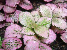 Fittonia verschaffeltii - Mosaic plant