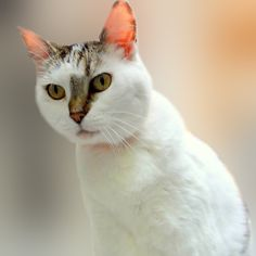 Adopt this gorgeous cat from the BC SPCA Victoria shelter today! Click for more info. #AdoptBCSPCA #Catrescue #catadoption