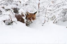 Hiding Fox by *thrumyeye on deviantART