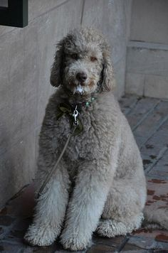 Goldendoodle with Green Bow