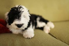 A mini sheepadoodle! I want one~